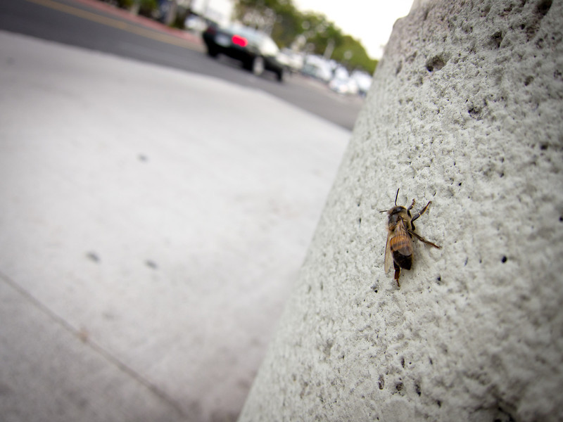 "<span id=""title"">Bee</span> <em>Santa Monica / 17th</em> Grabbed this shot while waiting for the bus to take us downtown. I do not know why the bee was hanging out on the trash can. It was great that about half of the people on the bus were all going to the Great LA Walk."