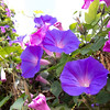 "<span id=""title"">Morning Glories</span> <em>Temple / Boylston</em> Appropriately, these were growing right near a florist."