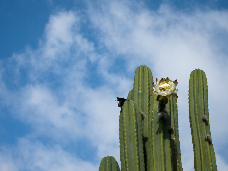 """<span id=""""title"""">Cactus Flower</span> <em>Hollywood / Curson</em> One of our walking buddies had a plot at Wattles Farm, which is a community garden. This cactus was along the fence."""