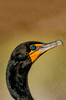 Cormorant Close Up