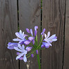 "<span id=""title"">Agapanthus and Fence</span> <em>location</em> Caption"