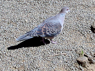 Ruddy Turtle Dove on the grounds of Meiji Jingu