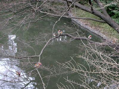 Mandarin Ducks in Meiji Jingu's forest area