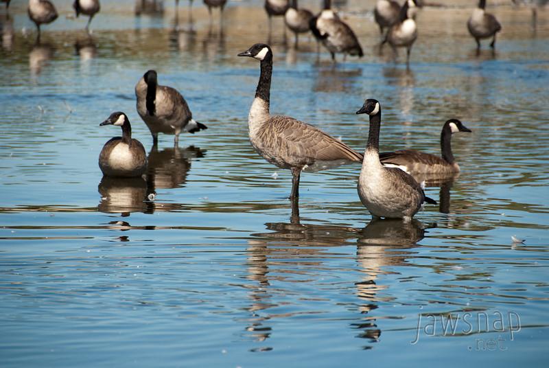"""<span id=""""title"""">Geese</span> Stop 1: Sepulveda Basin"""