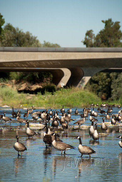 """<span id=""""title"""">Urban Geese</span> Stop 1: Sepulveda Basin As picturesque as the giant flock of geese was, it was hard to ignore the busy road next to them."""