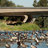 "<span id=""title"">Urban Geese</span> Stop 1: Sepulveda Basin As picturesque as the giant flock of geese was, it was hard to ignore the busy road next to them."