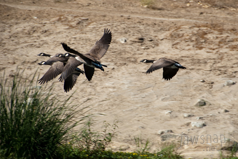 """<span id=""""title"""">Geese Flying</span> Stop 1: Sepulveda Basin As we started playing in the water - especially with dogs - the geese started flying around. This is the best flying shot I got..."""