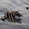 "<span id=""title"">Dead Crab</span> At least 18 inches across... one of the bigger, cooler things I've seen washed up."