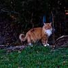 My pet lynx