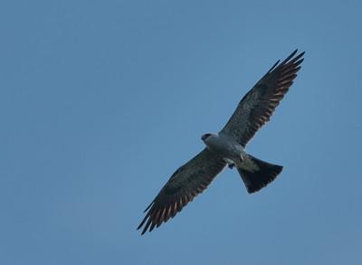 Monticello kites