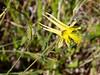 Aquilegia chrysantha.  Zion NP, Utah.  June 2010.