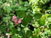 Symphoricarpos albus var. laevigatus (common snowberry). Sibley Reg. Volcanic Preserve, June 14, 2018
