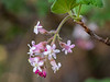 Ribes malvaceum (chaparral currant).  First bloom of the new rainy season.  This one was more out than most, but several shrubs had popped a few flowers.  Mitchell Cyn Road, but almost up to Deer Flat.