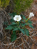 Datura sp. at a pullout.  Zion NP, Utah.  June 2010.