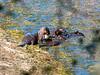 River otters at Briones Reservoir.