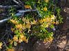 Mimulus aurantiacus.  Sticky monkeyflower. Silver Peak Wilderness, California, April 2008.