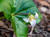 Trillum ovatum (Western trillium).  Thumbnail for Melanthiaceae plant family gallery.