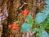 Mimulus eastwoodiae Scarlet monkeyflower.  Zion NP, Utah, June 2010.