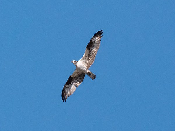 Throughout the afternoon this guy was coming and going.  After lots of attempts I finally got a good picture and an identification.  Osprey.