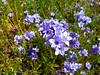 Gilia achilleifolia (California gilia).  Henry Coe State Park, California, April 2009.