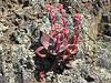 Dudleya cymosa.  Canyon dudleya,  Mt. Tamalpias (Bay Area). May 2006.