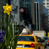 Daffodil in the foreground with blurred New York City taxi in the background.