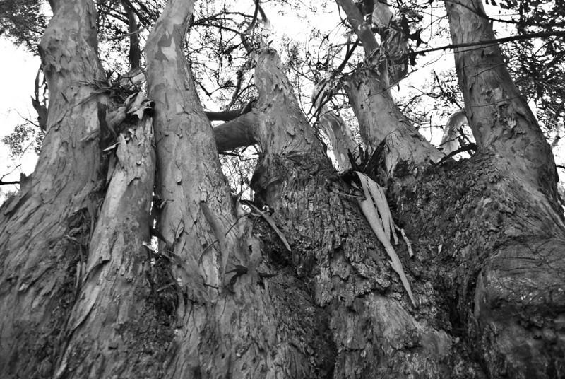"<span id=""title"">Eucalyptus</span> Looks like fingers... giant wood fingers."