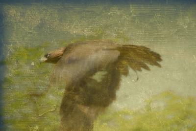 Flight Of The Hunter -- Harris Hawk
