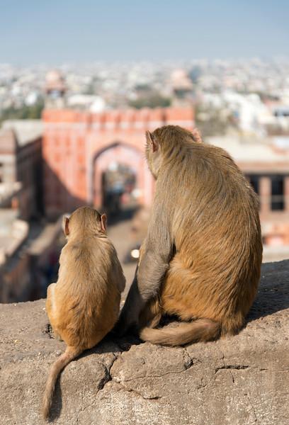 Monkeys near Galta Gate, Jaipur, India