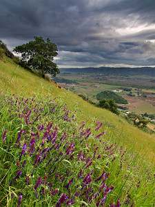 Lupine on the Incline - Rector Ridge overlooking Napa Valley