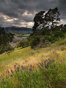 Lupine on the Ridge - Rector Ridge Trail overlooking Napa Valley