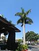 Pretty palm tree at the Catamaran Hotel