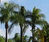 Palms at Safari Park