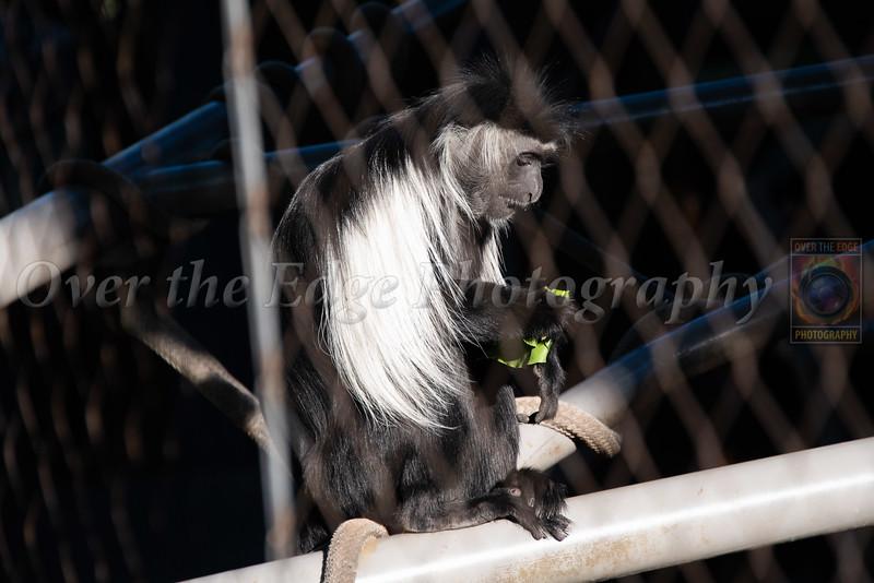 Angola Columbus Monkey