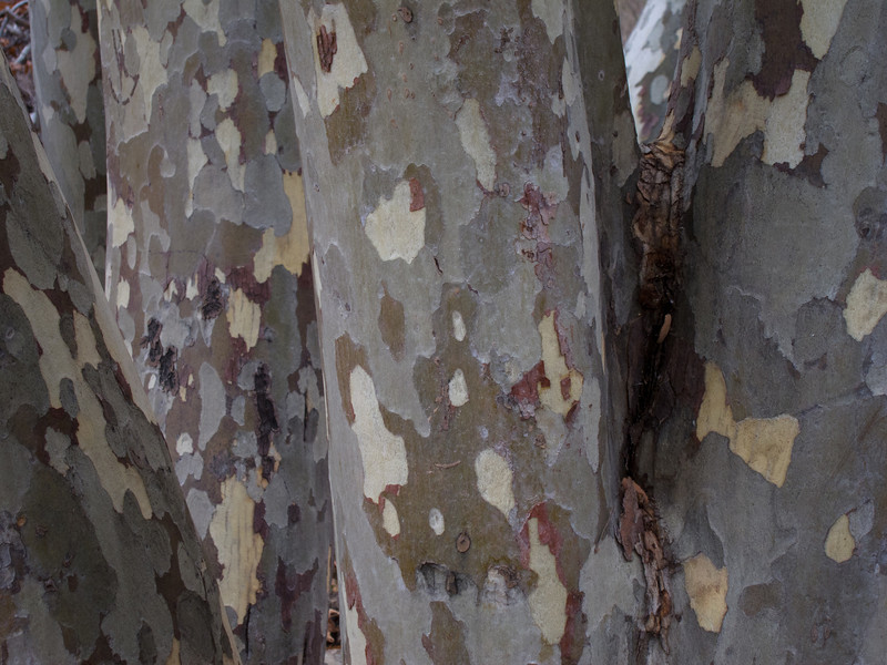 "<span id=""title"">Sycamore Trees</span> I like the palette of the bark. It's cool."