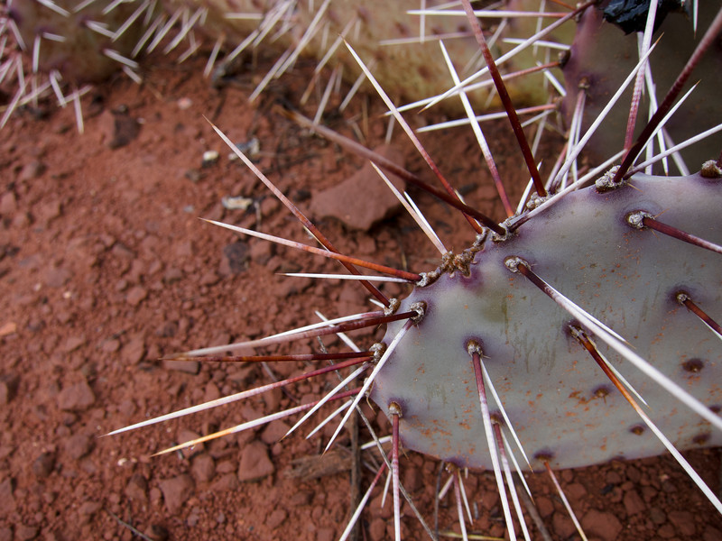 "<span id=""title"">Spines</span> Some long, red prickly pear spines against some red dirt."
