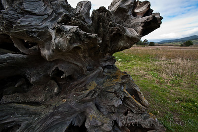 Pillar Point, Half Moon Bay. Large piece of driftwood with marine life carvings.