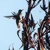 Hummingbird - long lens