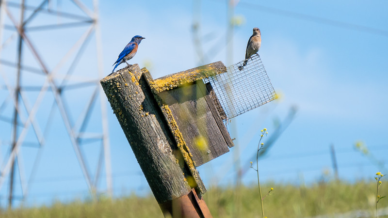 Bluebirds and Power Lines