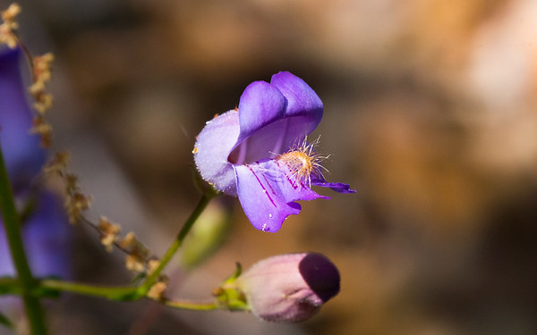 Penstemon grinnellii (Grinnell's beardtongue), Ventana Wilderness, California, USA, May 12, 2016.