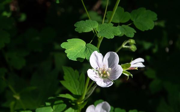 Geranium richardsonii, Richardson's geranium, Kings Canyon National Park, July 5, 2014