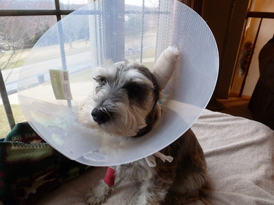 Oscar had to have an ear operation to remove a blood clot.