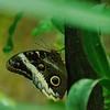 Caligo memnon- Giant Owl Butterfly