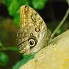 Caligo idomeneus - Giant Owl Butterfly