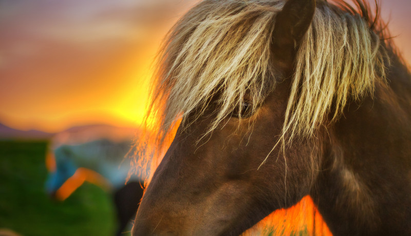 """<h2>Flaxen Horse at Sunrise</h2> <br/>The problem with horses in Iceland is that you can't pass a farm with them frolicking about without...wondering...hmmm...I wonder if I could get a good shot.  And then, of course, something in you tells you that Yes, of course, you could get a good shot.  And then, you have to come up with reasons not to stop at <em>every</em> farm and take photos of <em>every</em> horse, since they all come out interesting.<br/><br/>So, naturally, this is a strange situation, in which you have to willingly force yourself to drive past something that you know would be amazing.  But, well, you do it with the low-risk gamble that you will see something else amazing a bit down the road.<br/><br/>- Trey Ratcliff<br/><br/>The rest of this entry and information on an upcoming photowalk is <a href=""""http://www.stuckincustoms.com/2011/08/03/flaxen-horse-at-sunrise/"""">here</a> at the Stuck in Customs blog."""