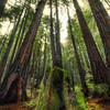 "<h2>The Giants in the Muir Woods</h2> <br/>When I was in California recently, I left Leo Laporte's cottage to take some photos of the Muir Woods.  If you have never been here, it's a must! <br/><br/>Did you know this is where they filmed that speeder scene from Return of the Jedi?  Very cool.  I did not see any Ewoks in the forest, nor did they try to trip me by making me roll my robo-angle on strategically-placed logs.  Those Ewoks... so small, crafty, and flammable.<br/><br/>- Trey Ratcliff<br/><br/><a href=""http://www.stuckincustoms.com/2010/02/24/the-giants-in-the-muir-woods/"" rel=""nofollow"">Click here to read the rest of this post at the Stuck in Customs blog.</a>"