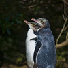 "<h2>The Yellow-Eyed Penguin</h2> <br/>These are the rare yellow-eyed penguins of New Zealand.  I think they are rare.  I don't know.  It seems like all animals are rare or endangered, so those words kind of lose their punch after a while, don't they?  I mean, if most everything is rare, then it becomes quite common, linguistically speaking.  Anyway, they said it was rare, so there you go.<br/><br/>And I know why they are rare!  They just stand there ... <br/><br/> - Trey Ratcliff<br/><br/>Read the rest of this entry <a href=""http://www.stuckincustoms.com/2010/09/23/the-yellow-eyed-penguin/"">here</a> at the Stuck in Customs blog."