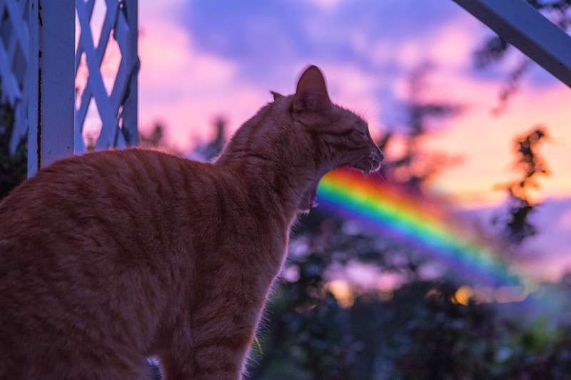 Cat Barfs Rainbow