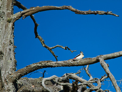 Woodpecker in a dead tree in Hyggen