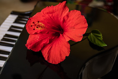 Red Hibiscus on Piano